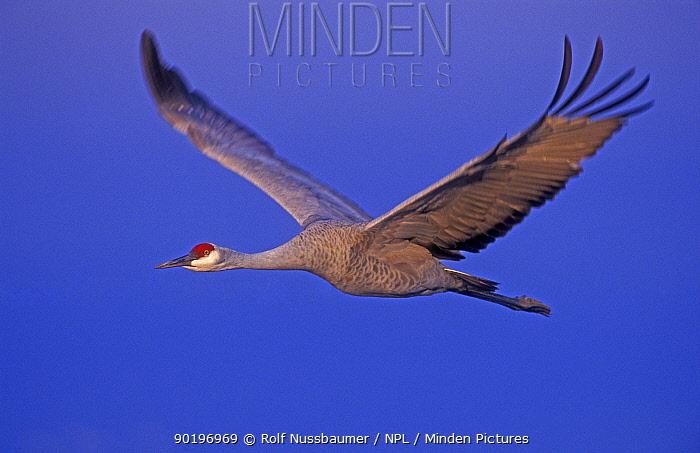 Sandhill crane in flight (Grus canadensis) Bosque del Apache, NM, USA  -  Rolf Nussbaumer/ npl