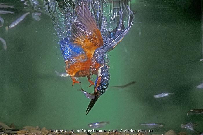 Common kingfisher male diving underwater for fish (Alcedo atthis) Switzerland  -  Rolf Nussbaumer/ npl
