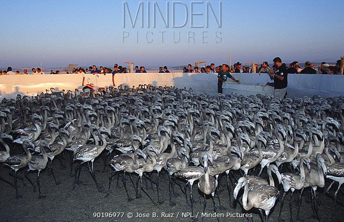Researchers catch, check and ring juvenile Gter flamingoes Laguna de Fuentepiedra NP,  -  Jose B. Ruiz/ npl