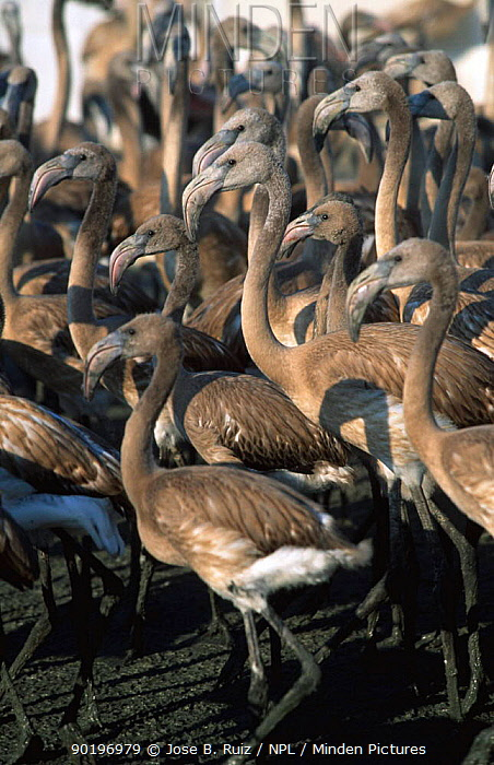 Juvenile Gter flamingoes rounded up for research Laguna de Fuentepiedra NP, southern  -  Jose B. Ruiz/ npl