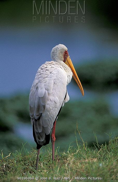 Yellow billed stork (Mycteria ibis) Tanzania  -  Jose B. Ruiz/ npl