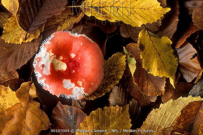 Beechwood sickener toadstool (Russula mairei) among beech leaves Belgium  -  Philippe Clement/ npl