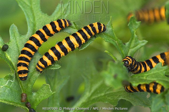 D Cinnabar Moth caterpillars (Tyria jacobaeae) feeding on Hoary Ragwort leaves Belgium  -  Philippe Clement/ npl