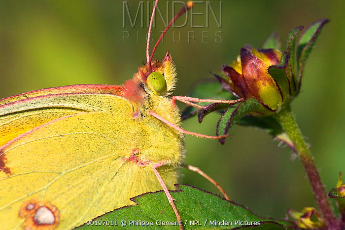 Clouded yellow butterfly on flower (Colias crocea) France  -  Philippe Clement/ npl
