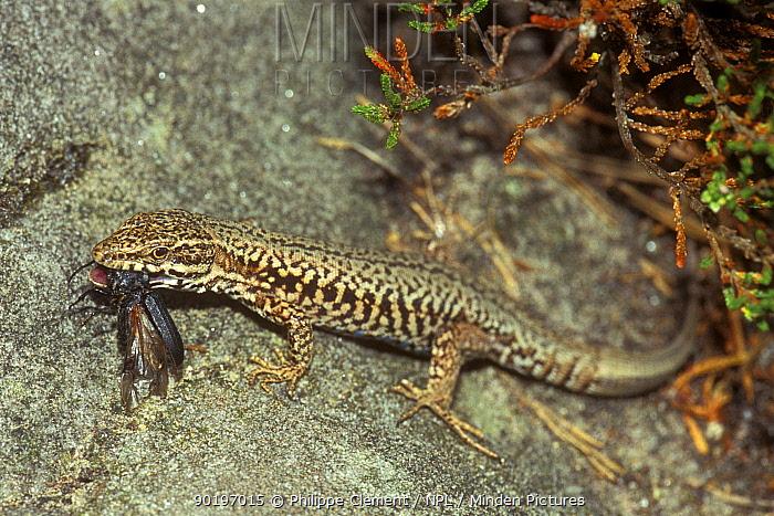 Common wall lizard feeding on beetle (Podarcis muralis) Belgium  -  Philippe Clement/ npl