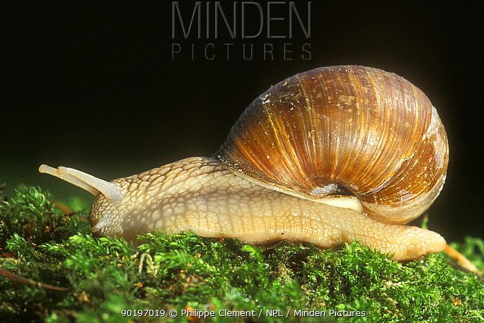 Edible snail on moss (Helix pomatia) Belgium  -  Philippe Clement/ npl