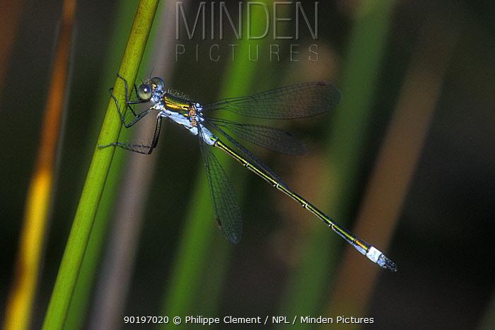 Emerald damselfly (Lestes sponsa) Belgium  -  Philippe Clement/ npl