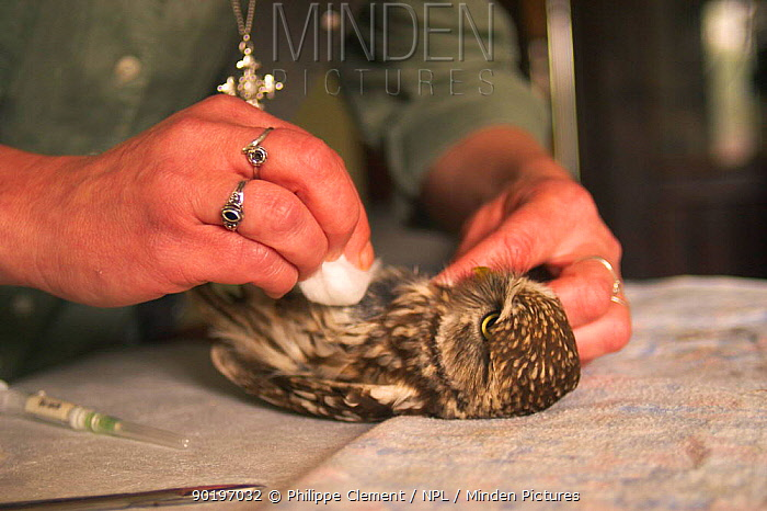 Little owl (Athene noctua) being treated in animal shelter Belgium  -  Philippe Clement/ npl