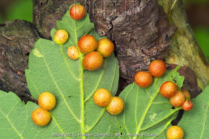 Oak galls of (Cynips divisa) on oak leaf Belgium  -  Philippe Clement/ npl