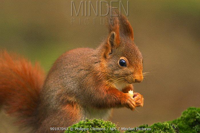 Red squirrel feeding (Sciurus vulgaris) Belgium  -  Philippe Clement/ npl