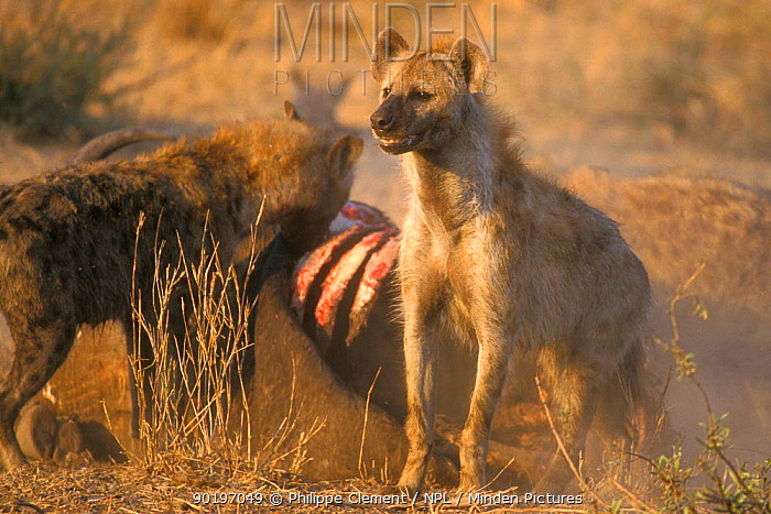 Spotted hyaenas (Crocuta crocuta) feeding on buffalo carcass Kruger NP S Africa  -  Philippe Clement/ npl