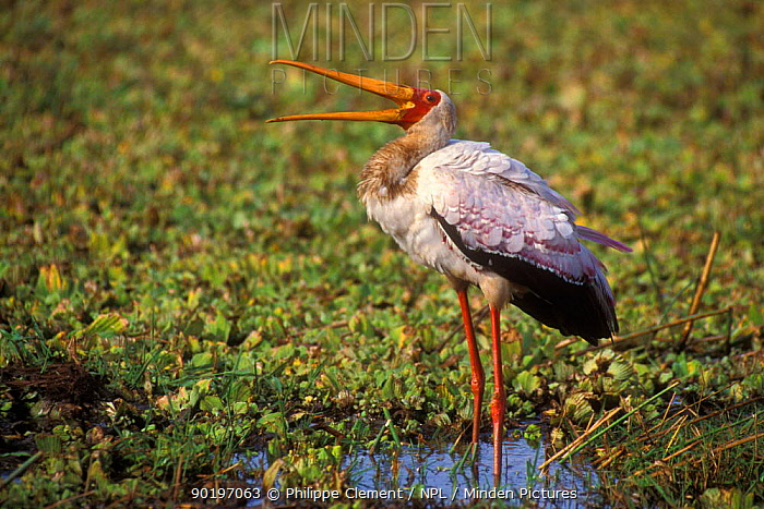 Yellow billed stork calling (Mycteria ibis) Kruger NP South Africa  -  Philippe Clement/ npl