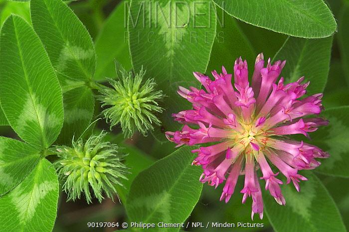 Zigzag clover flower (Trifolium medium) Belgium  -  Philippe Clement/ npl