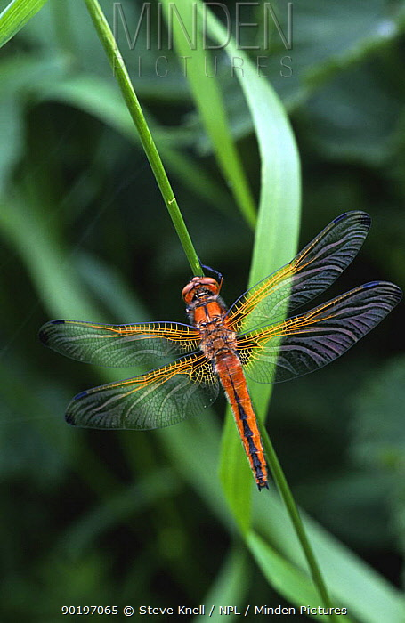 Scarse chaser dragonfly alighted with wings open (Libellula fulva) UK  -  Steve Knell/ npl