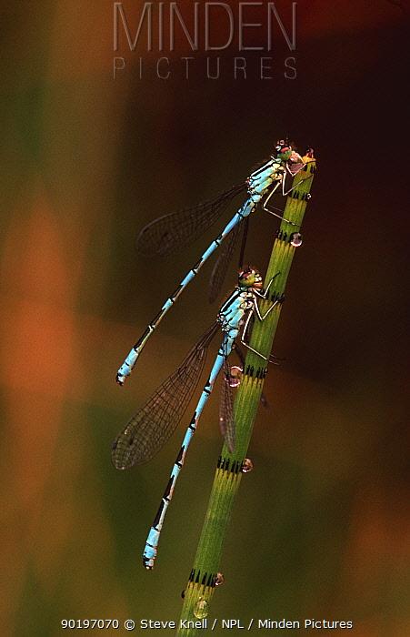 Two male Northern damselflies on reed (Coenagrion hastulatum) UK  -  Steve Knell/ npl