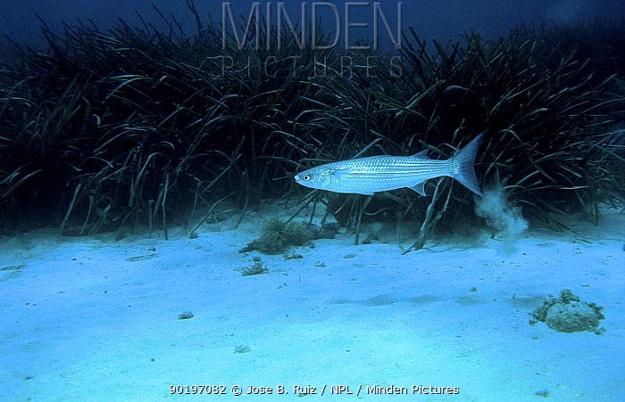 Thick-lipped grey mullet (Chelon labrosus) Mediterranean Spain  -  Jose B. Ruiz/ npl