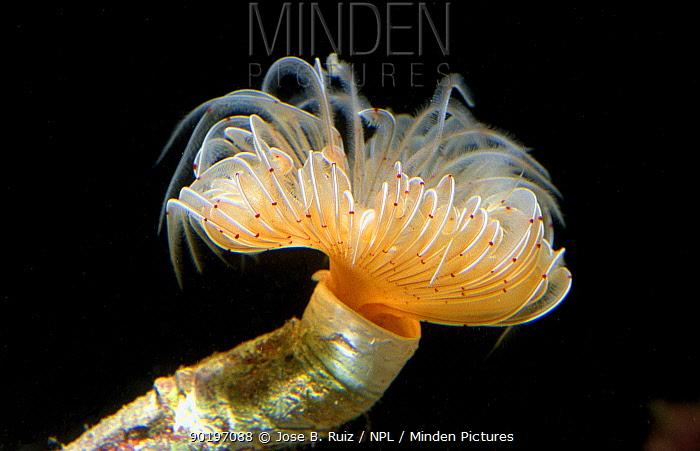 Tube worm, feather duster (Protula tubularia) Mediterranean  -  Jose B. Ruiz/ npl