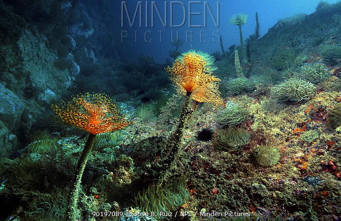 Tube worms on seabed, feather dusters (Sabella spallanzanii) Spain Mediterranean  -  Jose B. Ruiz/ npl