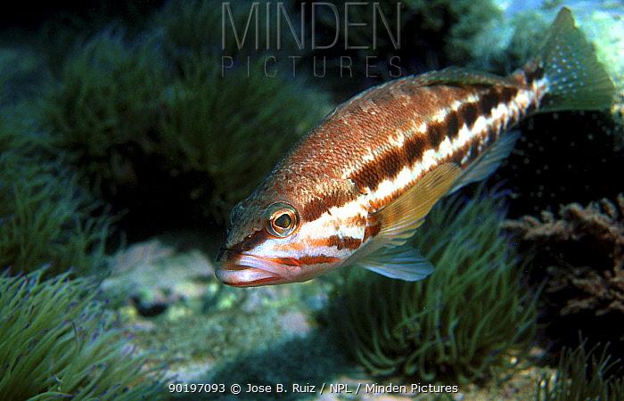 Blacktail comber fish (Serranus atricauder) Spain Alboran sea, Mediterranean  -  Jose B. Ruiz/ npl