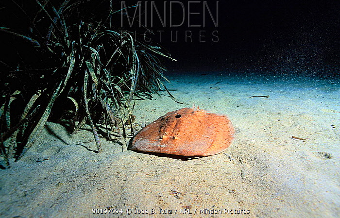 Marbled electric ray on seabed (Torpedo marmorata) Mediterranean  -  Jose B. Ruiz/ npl