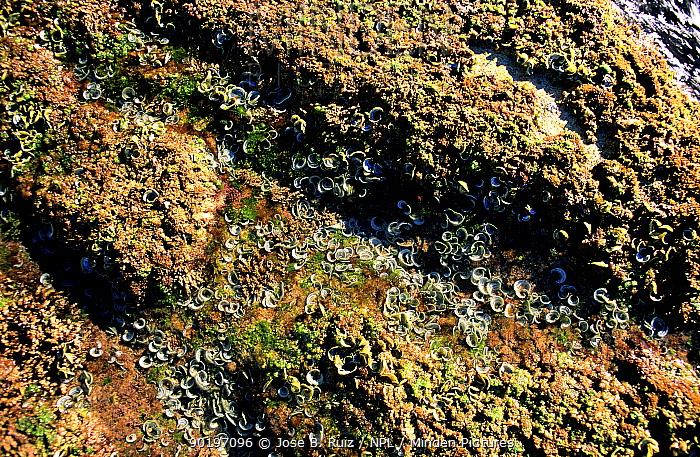 Peacocks tail seaweed exposed at low tide (Padina pavonica) Spain  -  Jose B. Ruiz/ npl