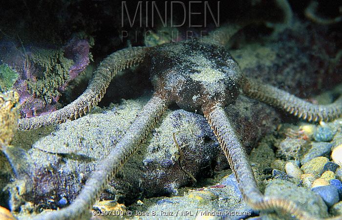 Smooth brittlestar on seabed (Ophioderma longicaudum) Mediterranean  -  Jose B. Ruiz/ npl