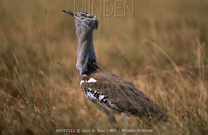 Kori bustard displaying (Choriotis, Ardeotis kori) Tanzania  -  Jose B. Ruiz/ npl
