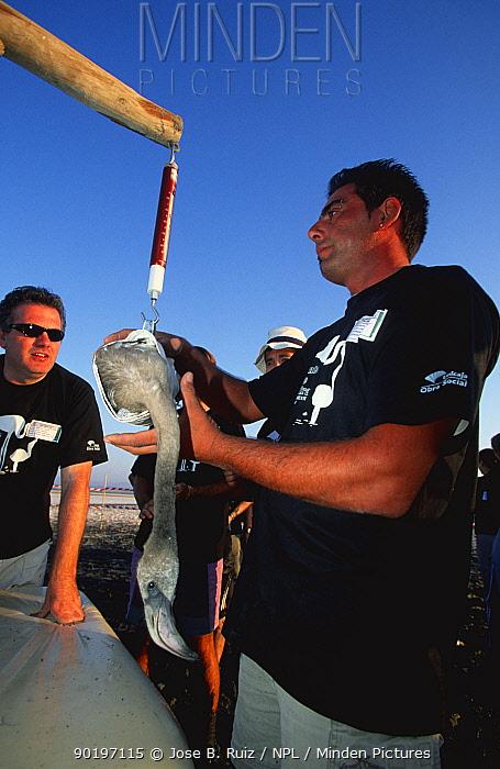 Researcher weighing juvenile Gter flamingo Laguna de Fuentepiedra NP, southern Spain  -  Jose B. Ruiz/ npl