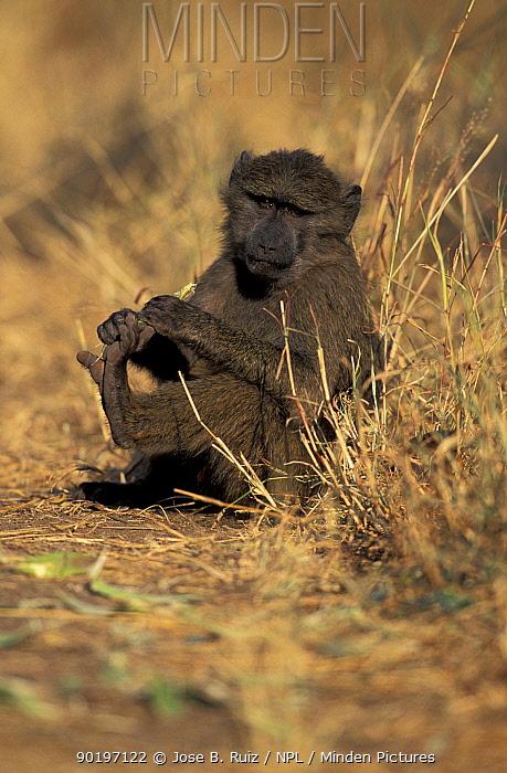 Olive baboon (Papio anubis) juvenile plays with toes, Tanzania  -  Jose B. Ruiz/ npl