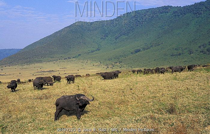 African buffalo herd (Syncerus caffer) Ngorongoro crater, Tanzania  -  Jose B. Ruiz/ npl