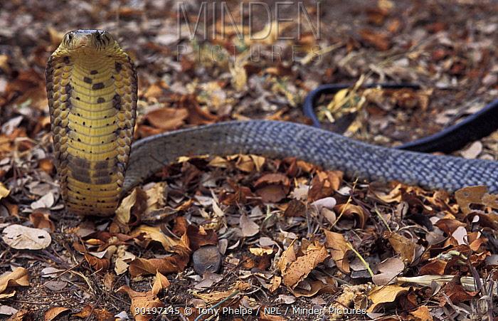 Black lipped cobra defense posture (Naja melanoleuca) Kwazulu-natal, South Africa  -  Tony Phelps/ npl