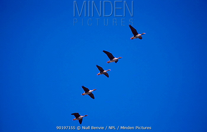 Five White fronted geese in formation flight (Anser albifrons) Estonia  -  Niall Benvie/ npl
