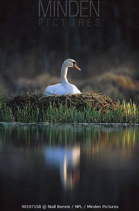 Mute swan on nest (Cygnus olor) Latvia  -  Niall Benvie/ npl