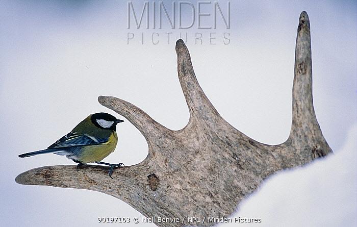 Great tit (Parus major) perched on Red deer antler Estonia Europe  -  Niall Benvie/ npl