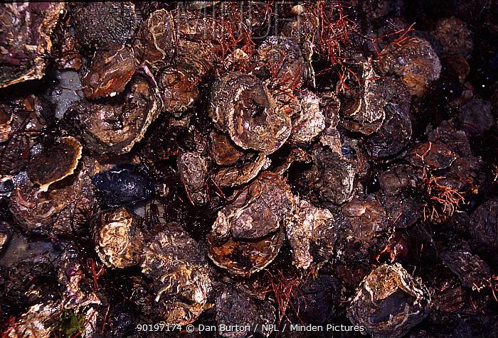 Common oyster catch (Ostrea edulis) Falmouth, Devon, UK  -  Dan Burton/ npl