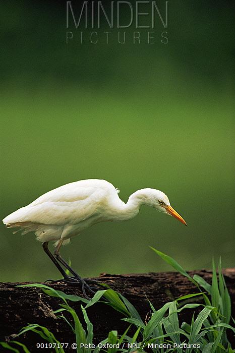 Cattle egret (Bubulcus ibis) standing on log, hunting in wetlands, Manu NP, Peru, South America  -  Pete Oxford/ npl