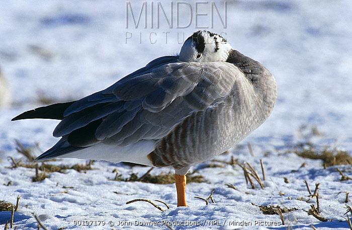 Bar headed goose (Anser indicus) resting in snow, Slimbridge WWT, UK  -  John Downer/ npl