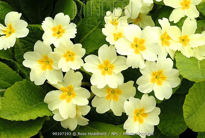 Common primroses (Primula vulgaris) in flower, near Bradworthy, Devon, UK  -  Ross Hoddinott/ npl