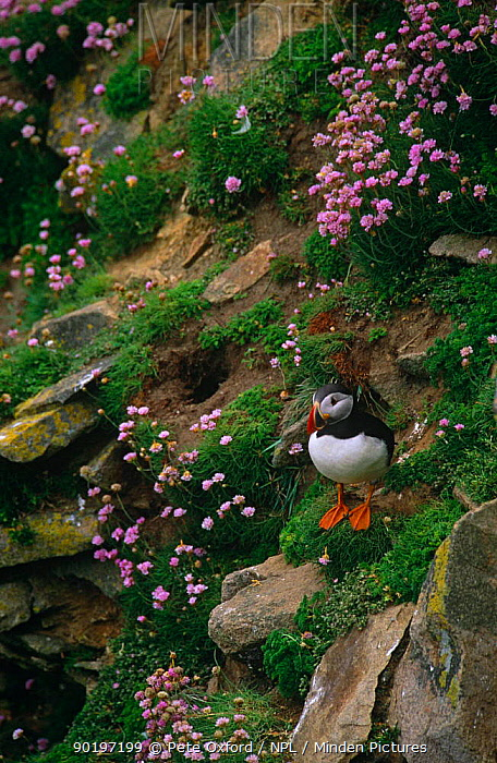 Puffin (Fratercula Arctica) amongst flowering Sea thrift, Great Saltee Island, Ireland  -  Pete Oxford/ npl