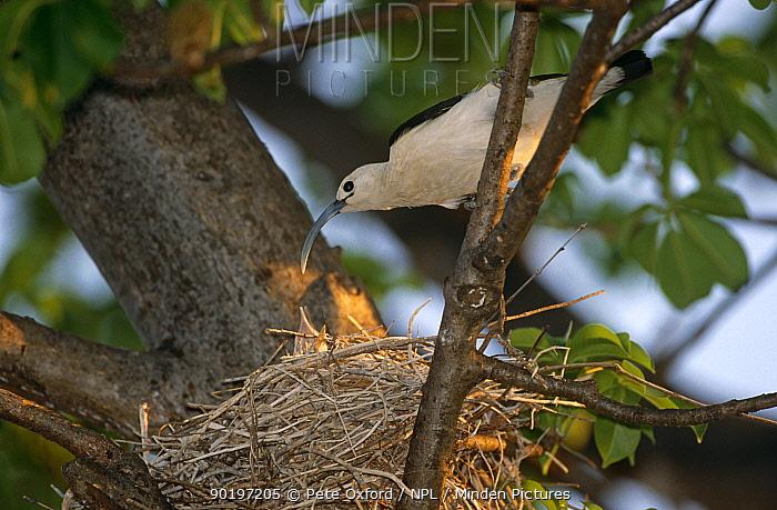 Sickle-billed vanga (Falculea palliata)  -  Pete Oxford/ npl