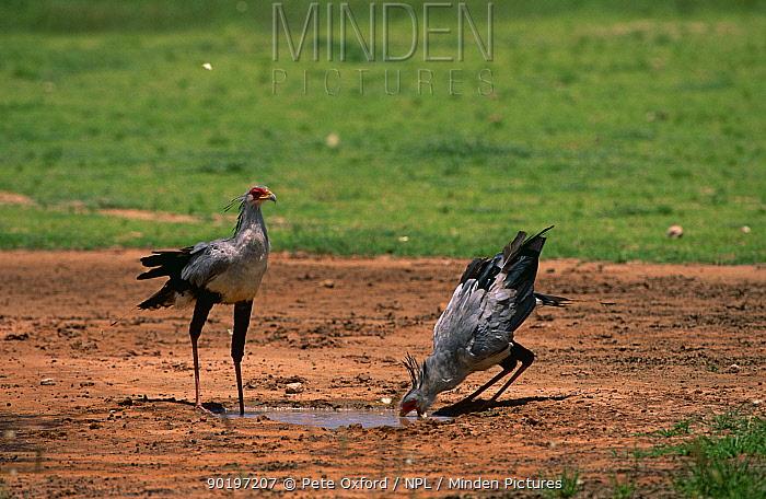 Two Secretary birds (Sagittarius serpentarius) drinking at water hole, Kgalagadi Transfrontier Park, South Africa  -  Pete Oxford/ npl
