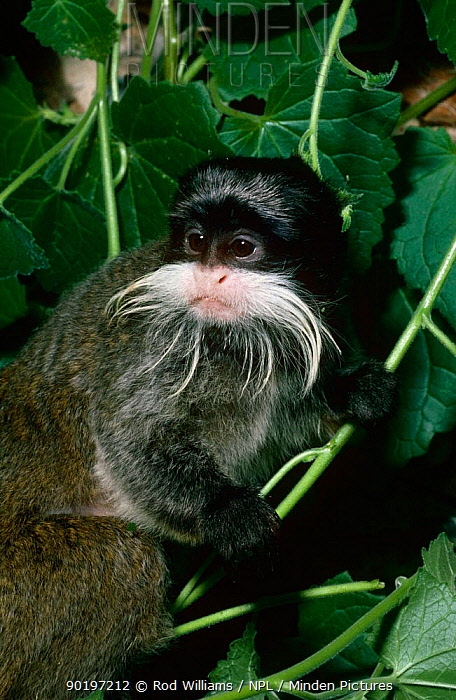 Emperor tamarin (Saguinus imperator) captive, from Peru, Bolivia, Brazil  -  Rod Williams/ npl
