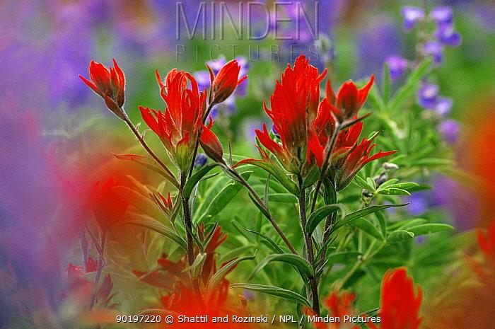 Indian paintbrush flowers {Castilleja coccinea} Colorado, USA  -  Shattil & Rozinski/ npl