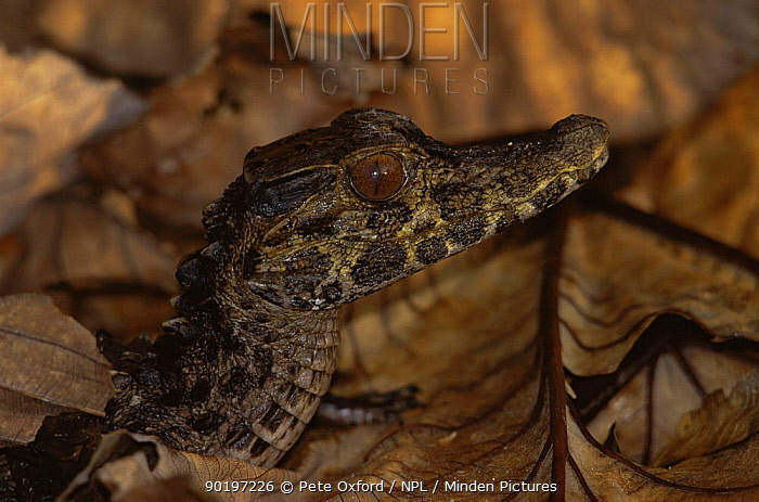 Dwarf caiman (Paleosuchius palpebrosus) Ecuadorian Amazon, South America  -  Pete Oxford/ npl