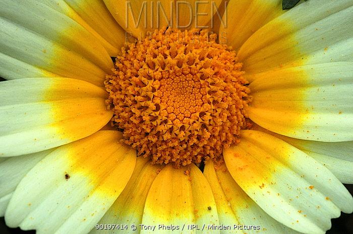 Cape daisy flower close up (Dimorphotheca sp) Nr Oudtshoorn, Little Karoo, South Africa,  -  Tony Phelps/ npl