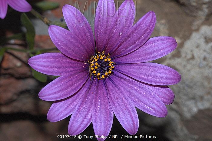 Cape daisy (Dimorphotheca sp) Nr Oudtshoorn, Little Karoo, South Africa,  -  Tony Phelps/ npl