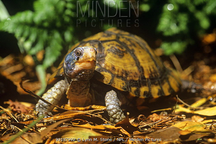 Yucatan box turtle (Terrapene carolina yucatana) captive  -  Lynn M. Stone/ npl
