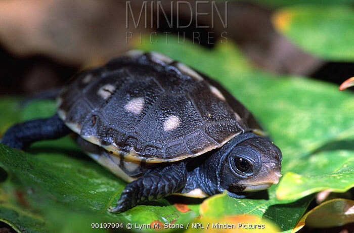 Eastern box turtle hatchling (Terrapene carolina carolina) Michigan, USA  -  Lynn M. Stone/ npl