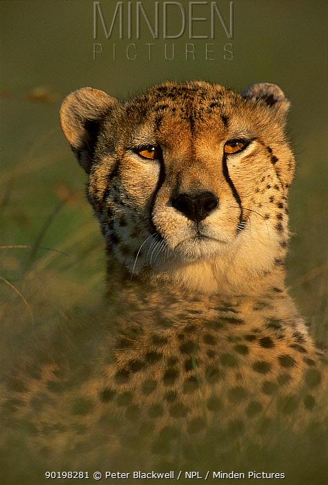 Face portrait of Cheetah (Acinonynx jubatus) Kenya, E Africa  -  Peter Blackwell/ npl