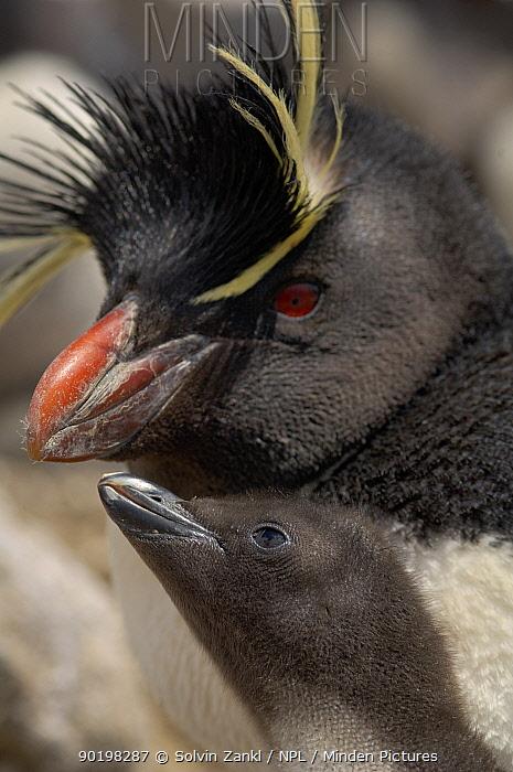 Rockhopper penguin (Eudyptes chrysocome, crestatus) with chick begging for food, Falkland Islands  -  Solvin Zankl/ npl